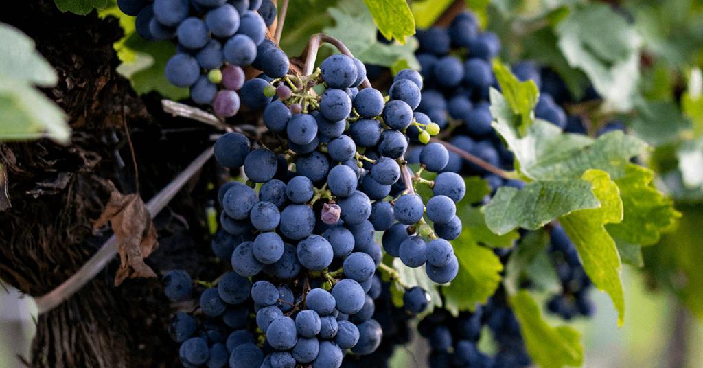 Синьо грозде.