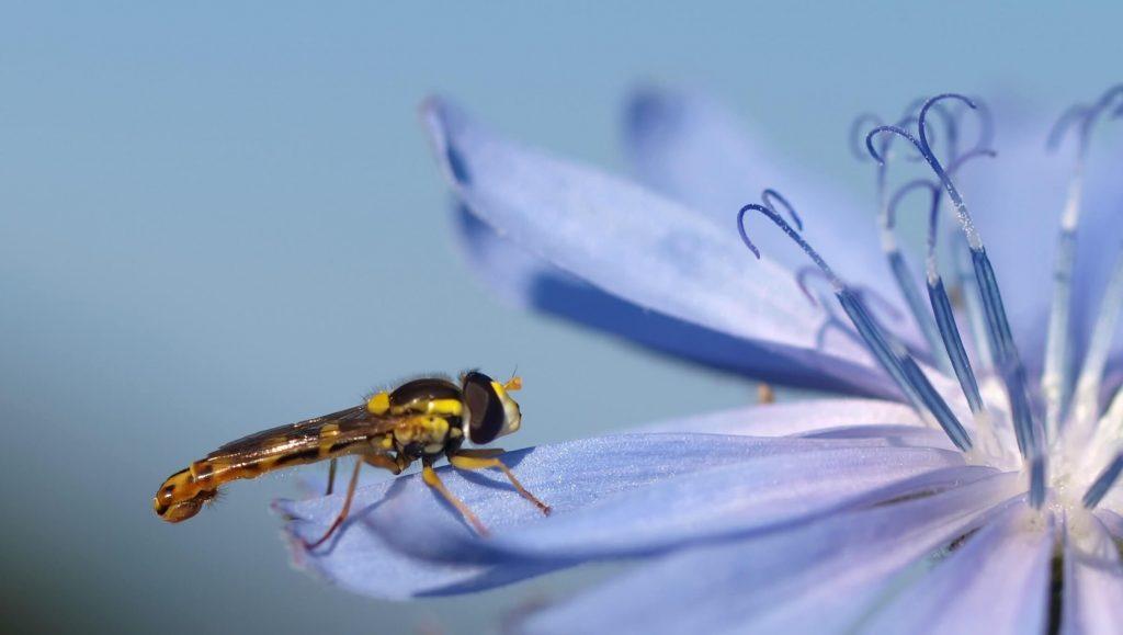 Пчела кацнала върху цикория